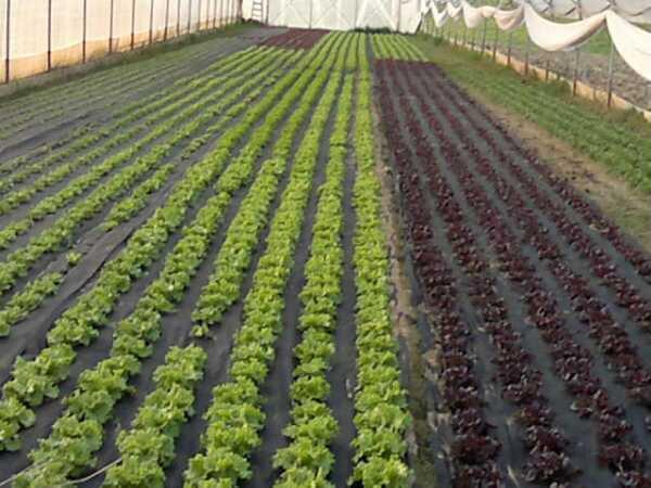 Salata na perforiranim malč folijama
